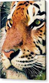 Tiger No 5 Acrylic Print