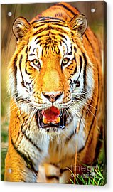 Tiger On The Hunt Acrylic Print
