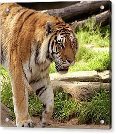 Tiger On The Hunt Acrylic Print by Gordon Dean II