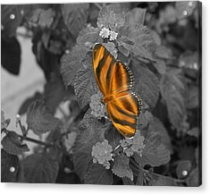 Tiger On The Wing 1 Colorized Acrylic Print
