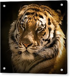 Acrylic Print featuring the photograph Tiger Portrait by Chris Boulton