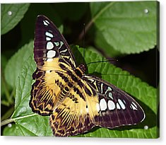 Tiger Print --- Clipper Butterfly Acrylic Print
