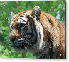 Acrylic Print featuring the photograph Tiger Profile by Richard Bryce and Family