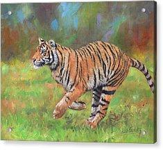 Tiger Running Acrylic Print by David Stribbling