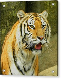 Acrylic Print featuring the photograph Tiger Stare by Sandi OReilly