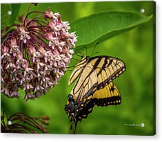 Tiger Swallowtail #210 Acrylic Print