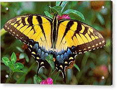 Tiger Swallowtail Acrylic Print by Alan Lenk