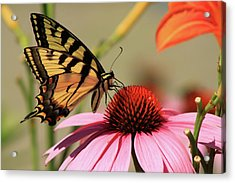 Tiger Swallowtail Butterfly Coneflower Acrylic Print by John Burk