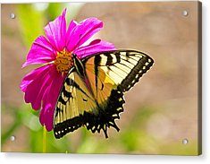 Tiger Swallowtail Butterfly. Acrylic Print by David Freuthal