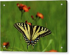 Tiger Swallowtail Butterfly Acrylic Print by Nancy Landry