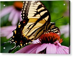 Tiger Swallowtail Butterfly On Coneflower Acrylic Print