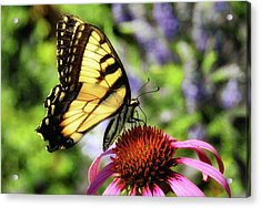 Tiger Swallowtail Acrylic Print by Elaine Manley