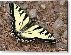 Tiger Swallowtail Acrylic Print by Jeff VanDyke