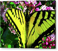 Acrylic Print featuring the photograph Tiger Swallowtail On Lilac by Randy Rosenberger
