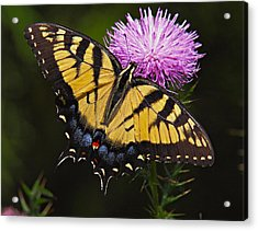 Tiger Swallowtail Acrylic Print by William Jobes