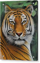 Tiger - The Heart Of India Acrylic Print