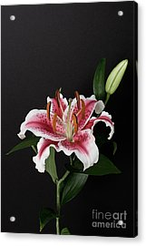 Tiger Woods Lily Acrylic Print