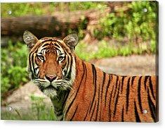 Tiger  Acrylic Print by Zev Steinhardt