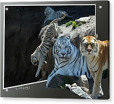 Tigers Out Of Frame Acrylic Print