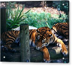 Tigers Sleeping Acrylic Print by Steve  Heit
