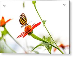 tigerwing at plus 1EV Acrylic Print