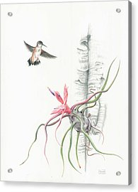 Tillandsia Bulbosa With Hummingbird Acrylic Print