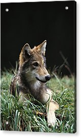 Timber Wolf Canis Lupus Portrait Acrylic Print
