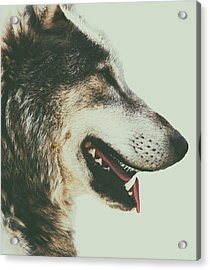 Timber Wolf Acrylic Print by Martin Newman