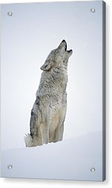 Timber Wolf Portrait Howling In Snow Acrylic Print