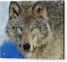 Timber Wolf Portrait Acrylic Print by Tony Beck