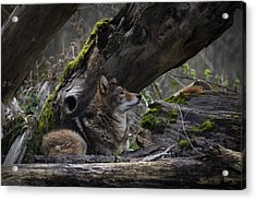 Timber Wolf Acrylic Print by Randy Hall