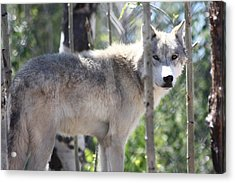 Acrylic Print featuring the photograph Timber Wolf by Shane Bechler