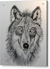 Timber Wolf Acrylic Print by Stan Hamilton