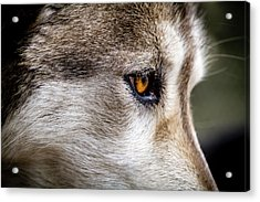 Acrylic Print featuring the photograph Timber Wolf Stare by Teri Virbickis