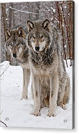 Timber Wolves In Winter Acrylic Print
