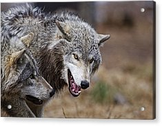 Acrylic Print featuring the photograph Timber Wolves by Michael Cummings