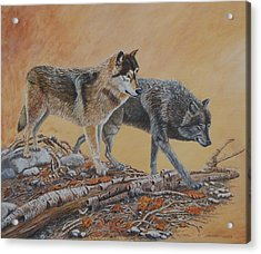 Timber Wolves Acrylic Print by Santo De Vita