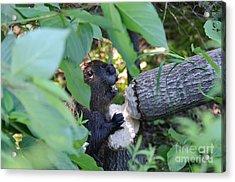 Timberrrrr Acrylic Print