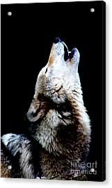 Time To Howl Acrylic Print by Nick Gustafson