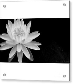 Black And White -timeless Lily Acrylic Print