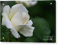 Tineke Rose 1 Acrylic Print