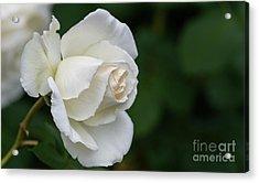 Tineke Rose 2 Acrylic Print