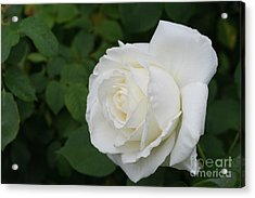 Tineke Rose 3 Acrylic Print