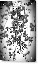 Tiny Buds And Blooms Acrylic Print