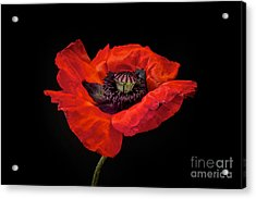 Tiny Dancer Poppy Acrylic Print