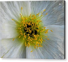Acrylic Print featuring the photograph Tiny Explosion by Marilynne Bull