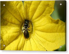 Tiny Insect Working In A Cucumber Flower Acrylic Print by Bonnie Boden