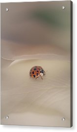 Tiny Lady On White Rose Acrylic Print by The Art Of Marilyn Ridoutt-Greene