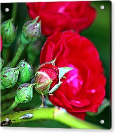Tiny Red Rosebuds Acrylic Print