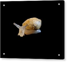 Acrylic Print featuring the photograph Tiny Snail by Maggy Marsh